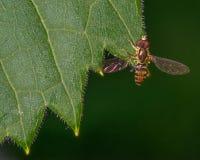 Makro- szczegółowy wizerunek kwiat komarnicy gatunki na zielonym liściu - nabierający Minnestoa zdjęcia stock