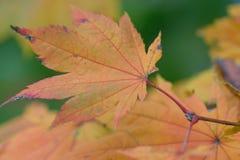Makro- szczegóły odmienianie barwią Japońskich liście klonowych z zamazanym tłem Zdjęcia Royalty Free