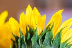 Makro- szczegółowi słoneczników liście Zdjęcia Royalty Free
