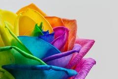 Makro- tęczy róży kwiat i wielo- kolorów płatki Odosobniony o Obrazy Royalty Free