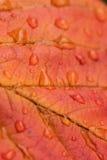 Makro- tło tekstura podeszczowa woda opuszcza na jesieni wiśni liściu Obraz Royalty Free