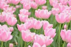 Makro- tło tekstura Różowi Tulipanowi kwiaty Zdjęcie Royalty Free