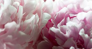 Makro- tło peonia kwiat Fotografia Royalty Free