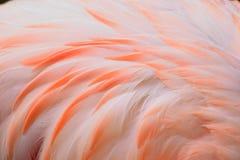 Makro- tekstura flamingów ptasi piórka Zdjęcie Royalty Free