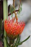 Makro tropischen hawaiischen Nadelkissen Protea Stockfotografie