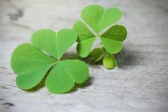 Makro- Trzy liści koniczyna na nieociosanym drewnianym stole Shamrock roślina jest symbolu szczęściem Patrick& x27 lub st; s dzie Fotografia Royalty Free