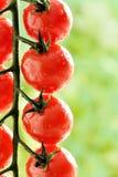 Makro - vattensmå droppar på tomatväxten Royaltyfri Foto