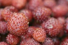 Makro vieler wilden roten Erdbeeren Stockbild