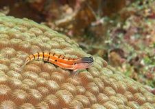 Makro von axelrod ` s Clown Blenny, der auf Korallenriff von Bali stillsteht Stockfotos