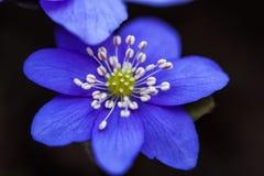 Makro von blauen Blumen von Hepatica Beschneidungspfad eingeschlossen Lizenzfreie Stockfotografie