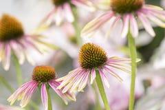 Makro von doppeltem Decker Cone Flower Echinacea lizenzfreie stockfotos
