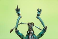 Makro von einem Rüsselkäfer im Türkis Stockfoto