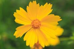 Makro von gelben Gänseblümchenfarben Lizenzfreie Stockfotografie