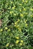Makro von kleinen gelben Blumen von ceratocephala testiculata Stockbilder