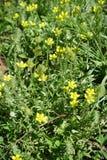 Makro von kleinen gelben Blumen von curveseed Butterwort Stockbild