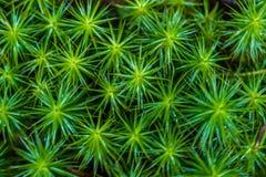 Makro von Pohlia-nutans Moos mit grünen Sporenkapseln auf roten Stielen stockbild