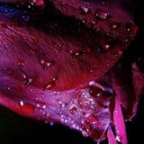 Makro von Rose With Water Droplets lizenzfreie stockfotografie