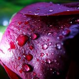 Makro von Rose With Water Droplets stockfoto