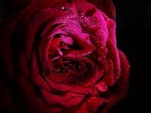 Makro von Rose With Water Droplets stockbilder