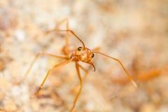 Makro von roten Ameisenstarren an Ihnen Stockfotos