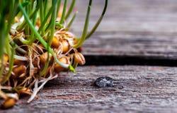 Makro von Weizenkeimen lizenzfreies stockfoto