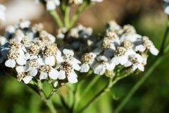 Makro von Wiesen-Kerbel flowersyarrow Stockbild