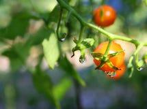 Makro - Wasser-Tröpfchen auf Tomatenpflanze Stockbild