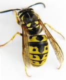 Makro weißer Hintergrund der europäischen Wespe Stockbilder