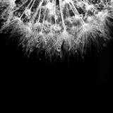 Makro weißer Superlöwenzahn mit Tröpfchen auf schwarzem Hintergrund stockfotografie