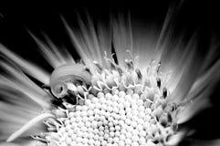 Makro- widok Calendula officinalis w czarny i biały zdjęcia stock