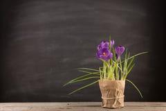 Makro- widok piękny krokusa kwiat na czerni tło mleczy spring pełne meadow żółty fotografia royalty free