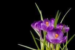 Makro- widok piękny krokusa kwiat na czerni tło mleczy spring pełne meadow żółty zdjęcie stock
