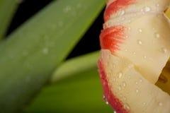 Makro- widok piękny tulipanowy kwiat na czerni tło mleczy spring pełne meadow żółty obrazy royalty free