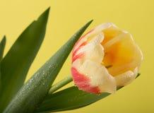 Makro- widok piękny tulipanowy kwiat na kolorze żółtym tło mleczy spring pełne meadow żółty obraz royalty free