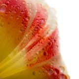 Makro- widok piękny tulipanowy kwiat odizolowywający na bielu tło mleczy spring pełne meadow żółty obraz stock