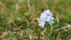 Makro- widok pojedynczy błękitny dzikiego kwiatu kiwanie w wiatrze na trawy tle samotnie zdjęcie wideo