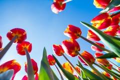 Makro- widok pomarańczowi tulipany na nieba tle Obrazy Royalty Free