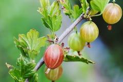Makro- widoku owoc agrestowy krzak Lato rolników ogrodowa scena Selekcyjna ostrość Płytkiej głębii pola fotografia Fotografia Stock