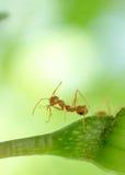 Makro- wizerunek akcja mrówka, mrówki pozycja Fotografia Royalty Free
