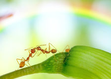 Makro- wizerunek akcja mrówka, mrówki pozycja Obraz Royalty Free
