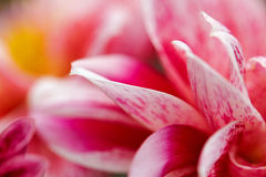 Makro- wizerunek różowy kwiat Zdjęcie Royalty Free