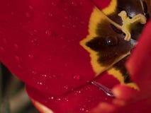 Makro- wodne kropelki na płatkach Tulipanowy kwiat w wiośnie fotografia stock