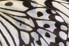 Makro- zakończenie up ampuł boginek motyla Drzewny skrzydło Zdjęcie Royalty Free