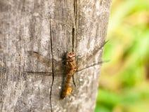 Makro- zakończenie up smok komarnica na drewnianym tło poczta sympetrum Obraz Stock