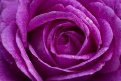 Makro- zakończenie up wibrująca purpury róża zdjęcie royalty free