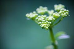 Makro- zakończenie up zielonej świeżej zdrowej pietruszki rozwija kwiat z ziarnami r w ogródzie jako abstrakcjonistyczny tło Zdjęcia Stock