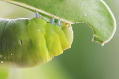 Makro- zakończenie w górę Caterpillar, zielona dżdżownica Fotografia Royalty Free