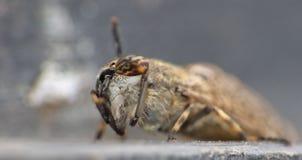 Makro- zakończenie w górę Horsefly Tabanus Uskrzydlających maculicornis siedzi na górze kosza dekla, nabierający Zjednoczone Król zdjęcie stock