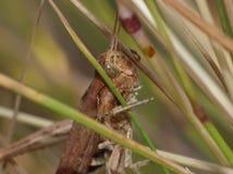 Makro- zakończenie w górę krykieta zakłada w obszarze trawiastym, fotografia nabierająca UK zdjęcie royalty free