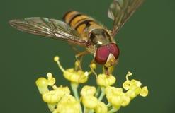 Makro- zakończenie w górę strzału hoverfly zbiera pollen od ogródu, fotografia nabierająca UK zdjęcie stock